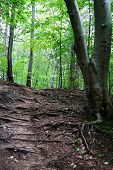 The Forest Trail Goes Up To The Green Trees And Sun Light. On The Trail Are Many Tree Roots. Usa, Mi poster