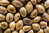 Many Cannabis Seeds. Organic Hemp Seed. Close Up. Macro Detail Of Marijuana Seed. Hemp Seeds Backgro poster