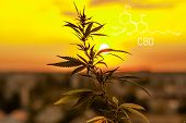 Cannabis Marijuana With The Image Of The Chemical Formula Cbd Cannabidiol. Structural Model Of Cbd M poster