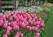 picture of split rail fence  - This image is a colorful spring floral in the foreground showing pink tulips and many rows of other colored tulips and daffodils along a rustic split rail fence - JPG