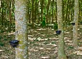 image of afforestation  - Tapping latex from a rubber tree at Thailand - JPG