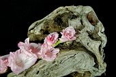 picture of gladiola  - Pink gladiola on a unique piece of driftwood. ** Note: Shallow depth of field - JPG