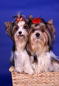 picture of pon  - Portrait of biewer yorkshire terrier a la Pom - JPG