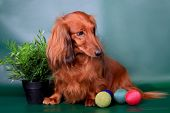 stock photo of long-haired dachshund  - Long haired dachshund sitting with decoration on green background - JPG