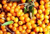 stock photo of sea-buckthorn  - Sea - JPG