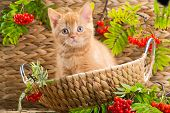 pic of orange kitten  - Cute red British kitten sitting in a basket with an autumn mountain ash - JPG