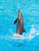 picture of bottlenose dolphin  - Dolphin jumping in the pool during acrobatic show - JPG