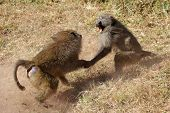 image of anubis  - Two male olive baboons  - JPG
