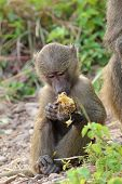 stock photo of anubis  - A baby olive baboon  - JPG