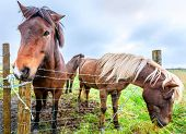 stock photo of iceland farm  - Icelandic Ponies - JPG