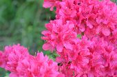 stock photo of dwarf  - Satsuki azalea  - JPG