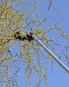 image of prunes  - trimming of trees using long pruning shears - JPG