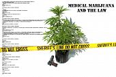 stock photo of mary jane  - Medical Marijuana plant in a black plastic 1 gallon grow pot - JPG