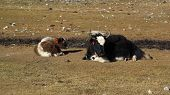 image of yaks  - Yak mother with calf - JPG