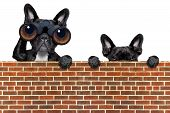 pic of observed  - binoculars dogs searching looking and observing with care above a stone wall - JPG