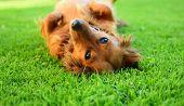 foto of long-haired dachshund  - Detail of brown dachsie dog in garden - JPG