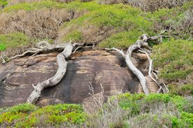 stock photo of gneiss  - Trunks of two trees growing flat over outcrop of gneiss - JPG
