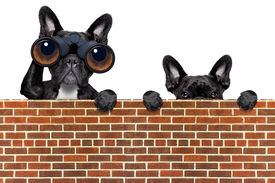 image of snoopy  - binoculars dogs searching looking and observing with care above a stone wall - JPG