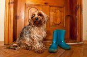 stock photo of linoleum  - Cute dog sitting near wooden door and waiting to go outdoor when rain - JPG