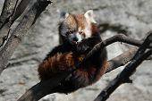 picture of panda  - Red panda  - JPG