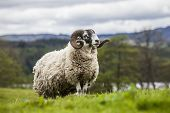 stock photo of incredible  - Incredible scottish sheep  - JPG