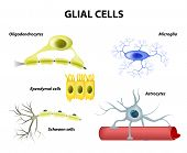 stock photo of nerve cell  - Types of neuroglia - JPG