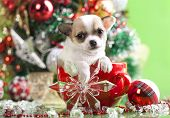 picture of christmas puppy  - puppy christmas chihuahua in  cup - JPG