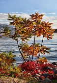 stock photo of tree snake  - Small tree along the Snake River taking on fall colors - JPG