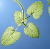 picture of catnip  - Backside of a catnip seedling in blue sky - JPG
