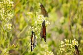 image of butterfly-bush  - Multiple Monarch butterflies on bush as they prepare to migrate south - JPG