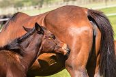 image of stud  - Horse mare and foal colt on stud farm field - JPG
