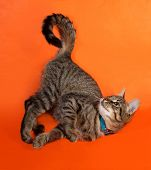 image of blue tabby  - Tabby kitten with yellow eyes in blue collar playing on orange background - JPG