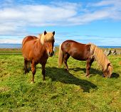 stock photo of iceland farm  - Two Icelandic horses with yellow  manes on a free pasture - JPG