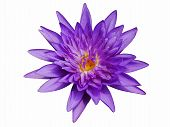 stock photo of purple white  - The purple lotus on the White Background - JPG