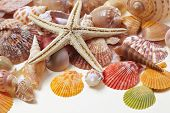 pic of cockle shell  - nice shells - JPG