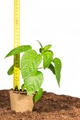 stock photo of measuring height  - Ruler measures height seedlings in peat pots standing on ground isolated white background - JPG
