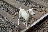 pic of emaciated  - ugly wild grey dog on the train road - JPG