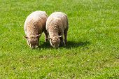 stock photo of eat grass  - Two Baby Lambs Eating Grass in a Field - JPG