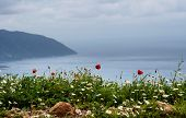 picture of gey  - Poppies and daisies on a coast of mediterranean sea - JPG