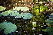 pic of water lily  - White River water lily and leaves on the water surface - JPG
