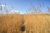 image of windy  - A little path through the high yellow reeds leads to the bank of the lake - JPG