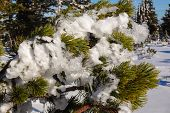 picture of paysage  - Frosted Snow On A Fir in the Czech Republic - JPG