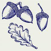 picture of acorn  - Acorn - JPG