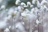 stock photo of goldenrod  - Plants under snow. Close up of withered goldenrod covered by snow in wintertime ** Note: Soft Focus at 100%, best at smaller sizes - JPG