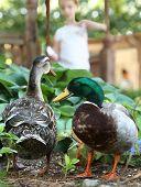 foto of duck  - Mallard Ducks being Fed by Girl  - JPG
