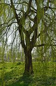 stock photo of weeping  - Weeping willow tree in the English countryside during Spring - JPG