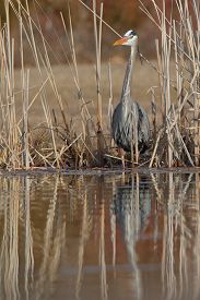 picture of cattail  - Great Blue Heron  - JPG