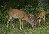 foto of deo  - Whitetail deo and her two fawns eating while another deer looks by