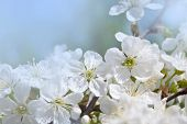 picture of cherry-blossom  - white flowers cherry on background blue 