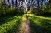 Sushine At Spring Pine Forest With Footpath And Grass. poster